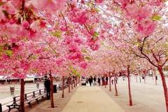 Những địa điểm ngắm hoa anh đào đẹp ở Nhật Bản không thể bỏ qua
